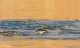 Common Dolphins, Sea of Cotez  4