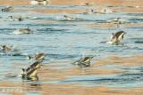 Common Dolphins, Sea of Cotez  6