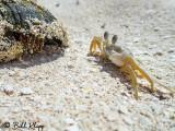 Ghost Crab, Marquesas Keys  4