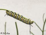 Monarch Caterpillar  1