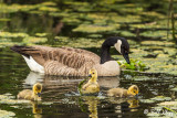 Canada Geese  33
