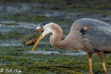 Great Blue Heron with crayfish  52
