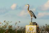 Great Blue Heron  27