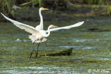 Great Egrets  31