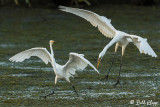 Great Egrets  32