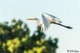 Great Egret  35