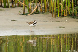 Killdeer  4