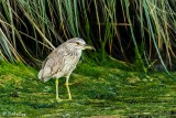 Black-Crowned Night Heron  20