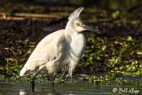Snowy Egret 2018  1