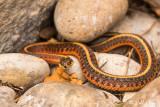 Garter Snake  4