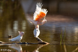 Pink Cockatoo,  Bowra Reserve, Cunnamulla  1
