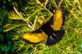 Regent Bowerbird, Lamington National Park  1