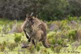 Kangaroo,  Kangaroo Island 1