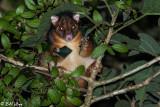 BrushTailed Possum, Lamington National Park