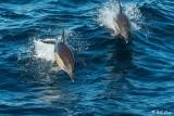 Common Dolphins,  Sydney  1