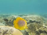 Butterfly Fish, Lizard Island  1
