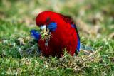 Crimson Rosella, Lamington National Park  1