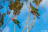 King Parrots, Lamington National Park  1