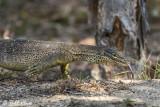 Yellow-Spotted Monitor Lizard,  Lizard Island  1