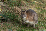Red-Necked Pandemelon,  Lamington National Park  1