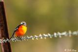 Flame Robin, Bruny Island, Tasmania  1