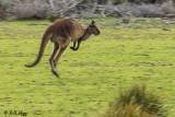 Kangaroo,  Kangaroo Island   4