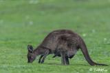 Kangaroo with Joey,  Kangaroo Island   5