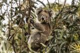 Koala Bear,   Kangaroo Island  4