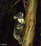 Koala Bear,   Kangaroo Island  3