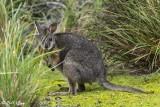 Tammar Wallably, Kangaroo Island  1