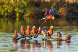 Galahs, Bowra Reserve, Cunnamulla  1