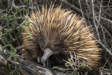Echidna, Kangaroo Island  2