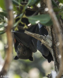 Flying Foxes (Bat),  Lizard Island  1