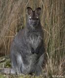 Swamp Wallaby,  Tasmania  1