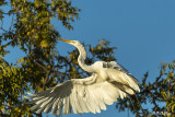 Great Egret taking flight   37