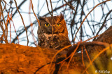 Great Horned Owl  6