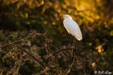 Snowy Egret  30