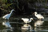 Snowy Egrets  53