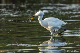 Snowy Egrets   55
