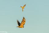 Swainson's Hawk & American Kestrel   12