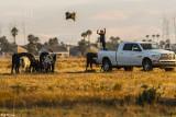 Cattle Farming  2