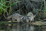 Raccoons  2018  5