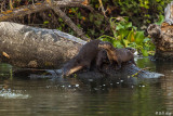 River Otter  2018   7  -- 2019 Town of Discovery Bay Calendar Winner