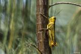 Grasshopper,   1