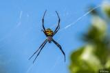 St Andrews Cross Spider  1
