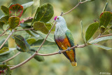 Rose-Crowned Fruit Dove  3
