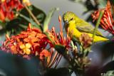 Yellow-Bellied Sunbird  4