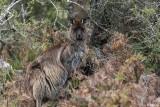Kangaroo,  Kangaroo Island  7