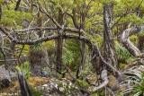 Mt.  Field Forest, Tasmania  2
