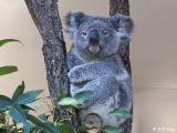 Koala Bear, Lone Pine Sanctuary  1